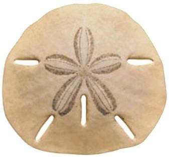 Sand dollar clipart color clipartfest