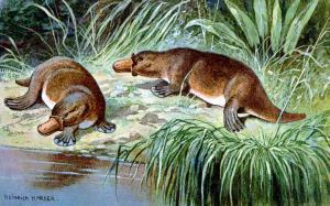 Platypus clip art download 2