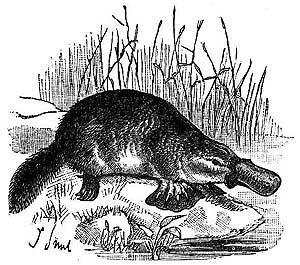 Platypus clipart 14