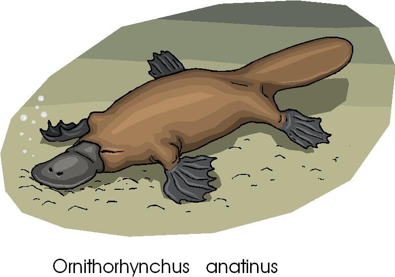 Platypus rare animal free clipart microsoft