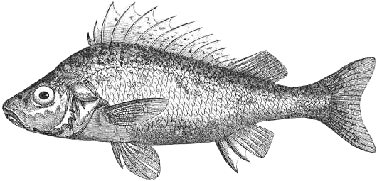 Fish black and white jelly fish clip art free