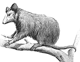 Free possum clipart graphics images and photos