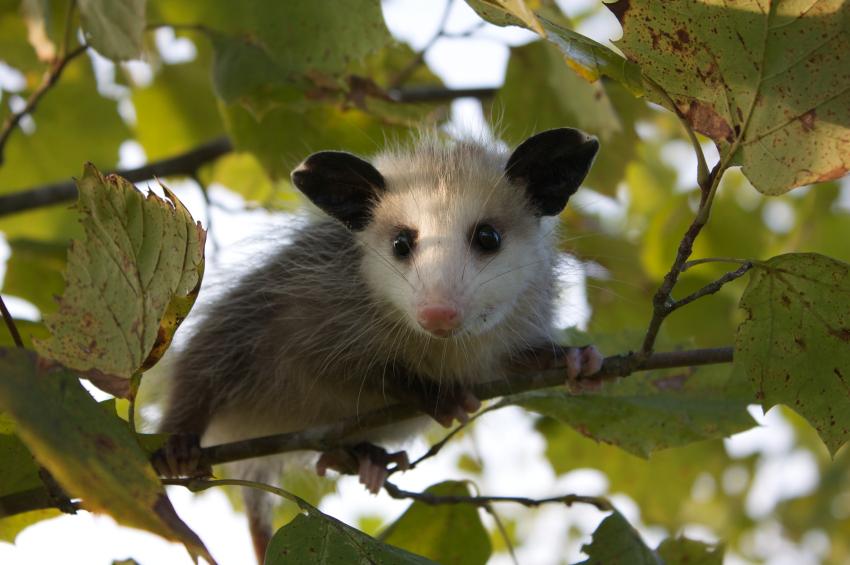 Possum in a tree clip art clipart download 2