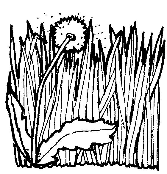 Grass  black and white art herb clipart images on dandelions clip