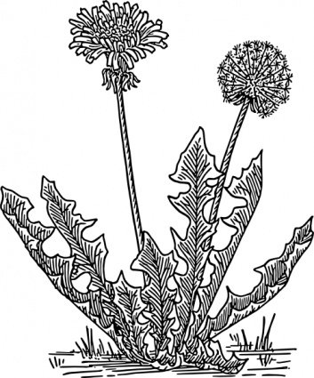 Grass  black and white dandelion clipart black and white pencil in color dandelion