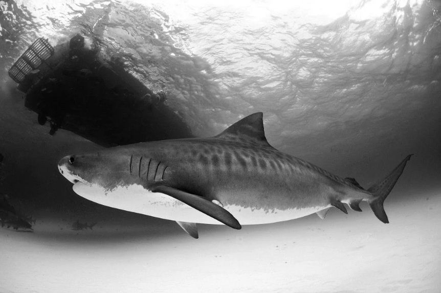 Shark black and white 7 jaw dropping real shark photos you have got to see we love sharks