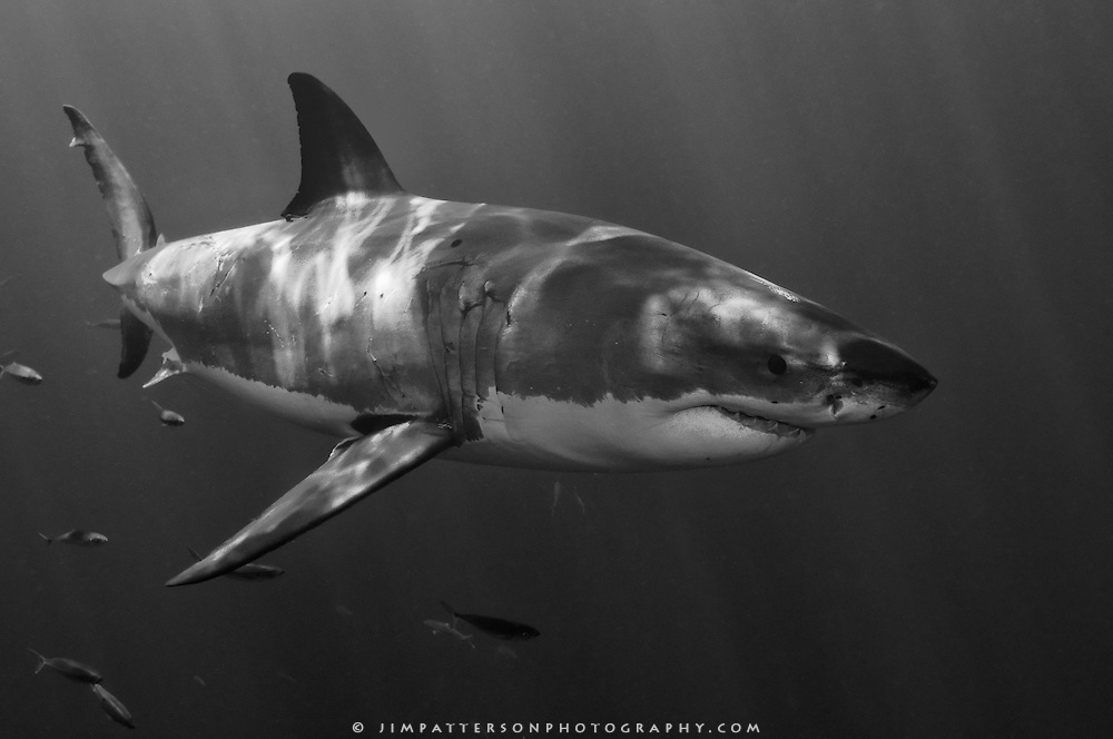 Shark black and white black and white underwater photo of a great shark jim