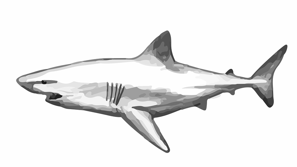 Shark black and white free vector graphic shark fish dog water live image on