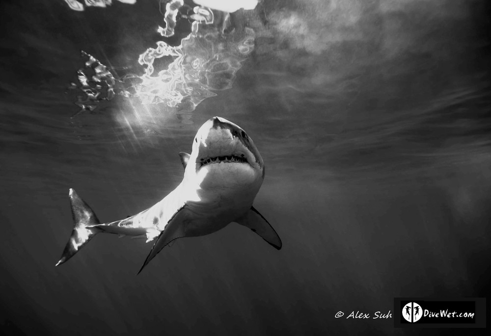 Shark black and white great white shark dive gallery wet