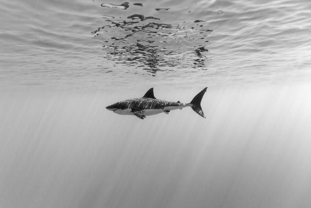 Shark black and white great white shark left profile a side a fem flickr
