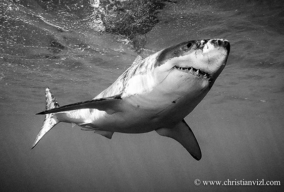 Shark black and white great white shark mostlysciencemostlyscience
