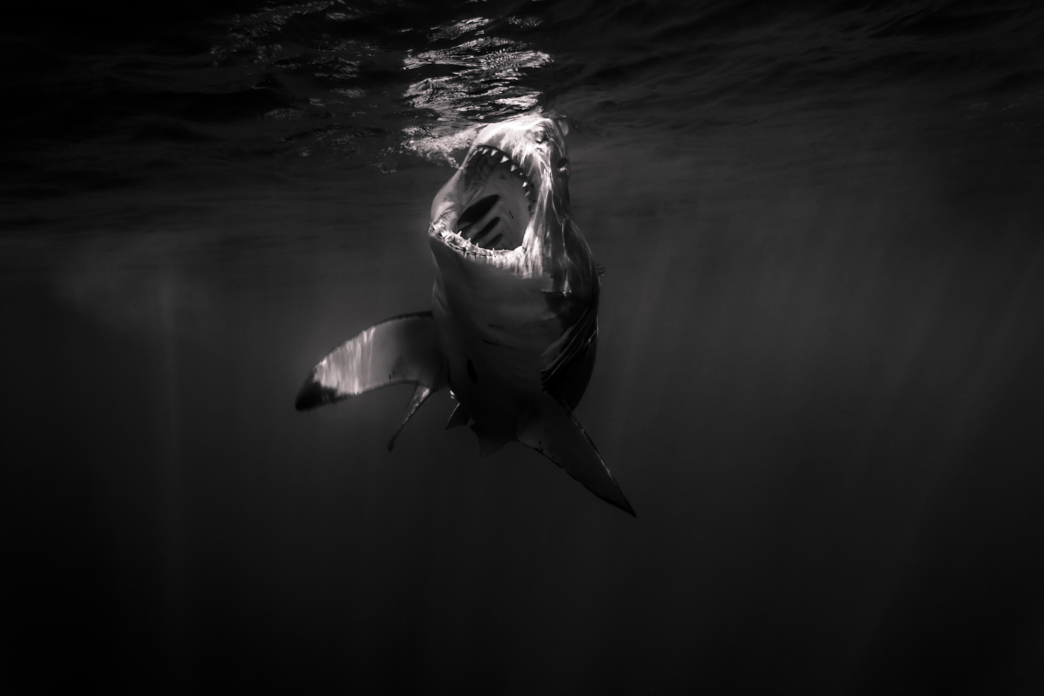 Shark black and white great white shark open mouth just amazing wildlife archives