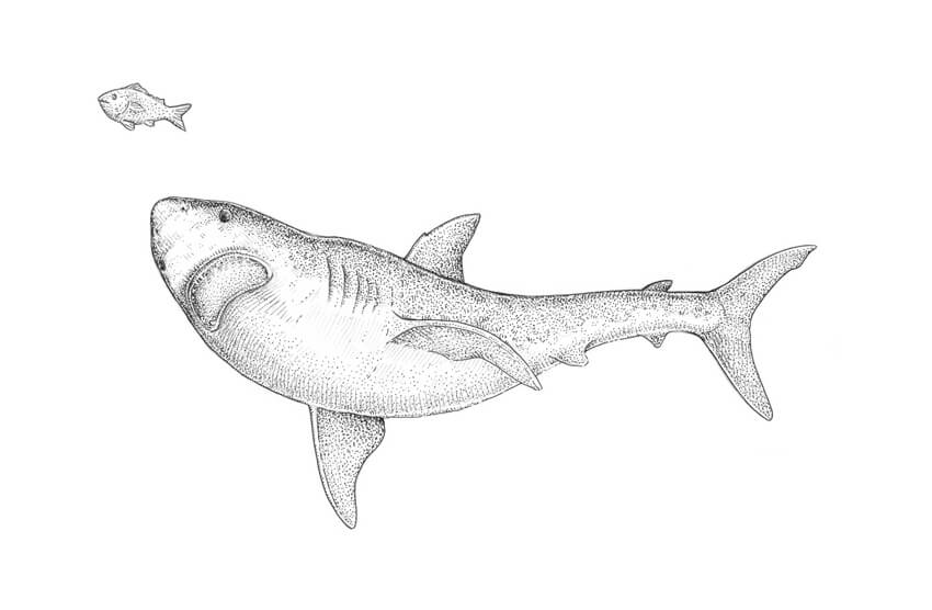 Shark black and white how to draw a shark step by