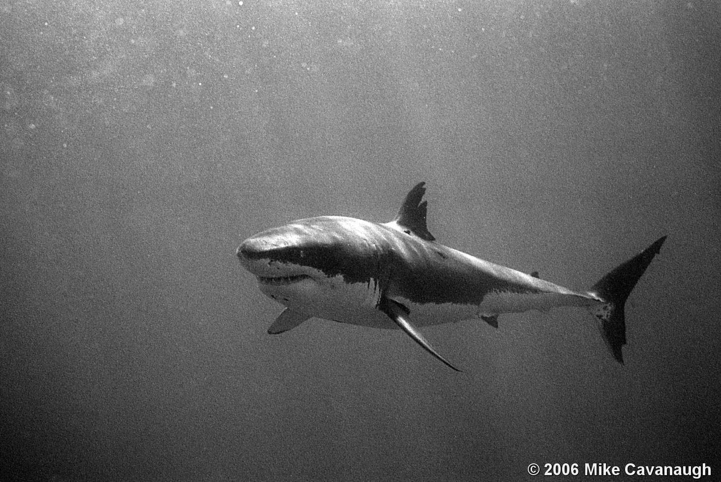 Shark black and white scar great white shark by mike cavanaugh black