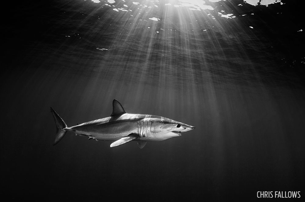 Shark black and white shark photos pictures from underwater photo contest scuba