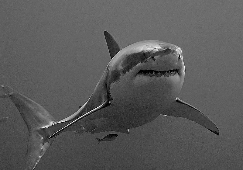 Shark black and white the great white shark masters of the sea pics twistedsifter