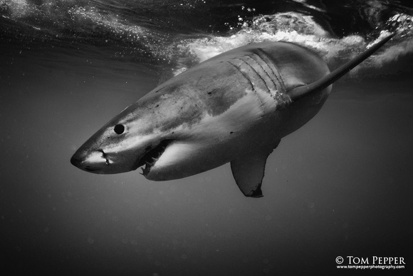 Shark black and white tom pepper wildlife great black and white shark