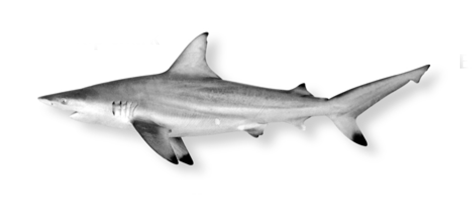 Shark black and white what 5 sharks are mostmonly found in local waters island packet 2