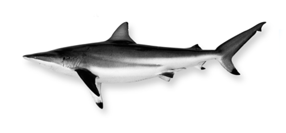 Shark black and white what 5 sharks are mostmonly found in local waters island packet 3