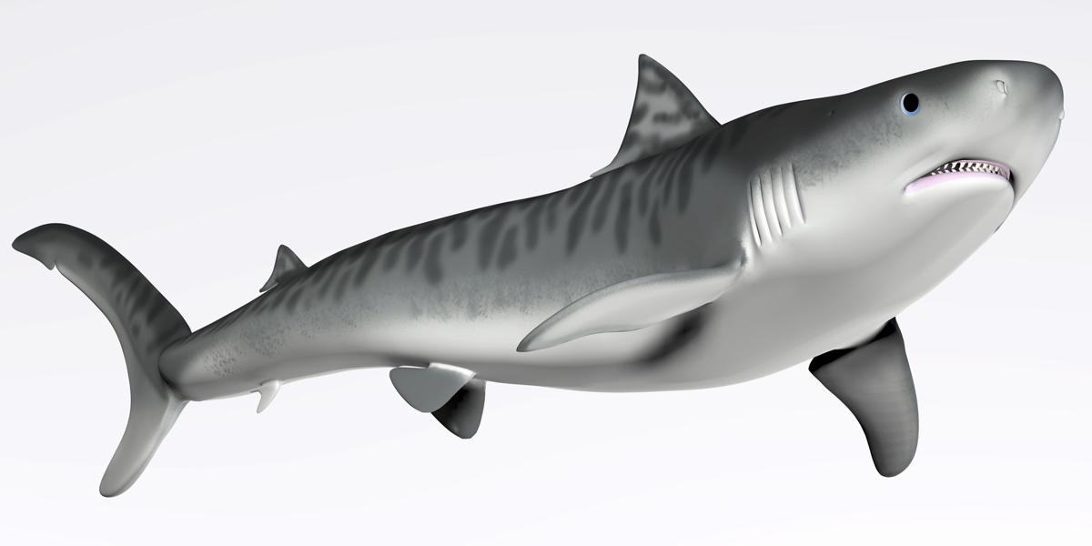 Shark black and white what do you think is the habitat of a tiger shark check this out