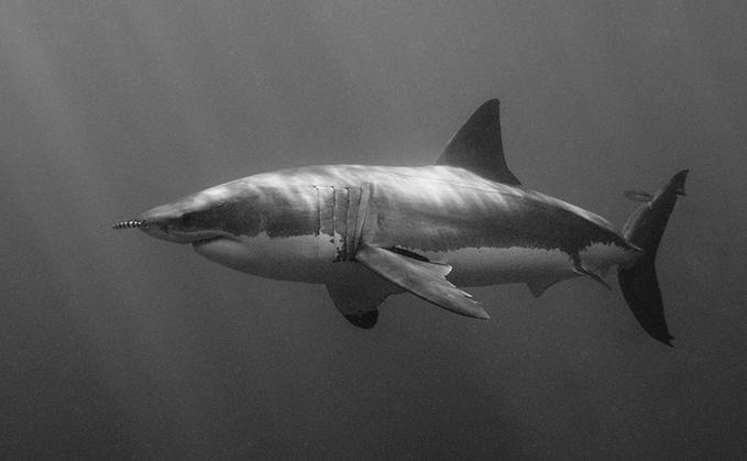 Shark black and white when is a white shark sexually mature