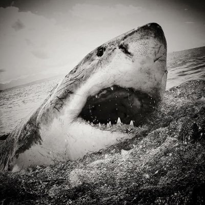 Shark black and white white shark africa whitesharkza twitter