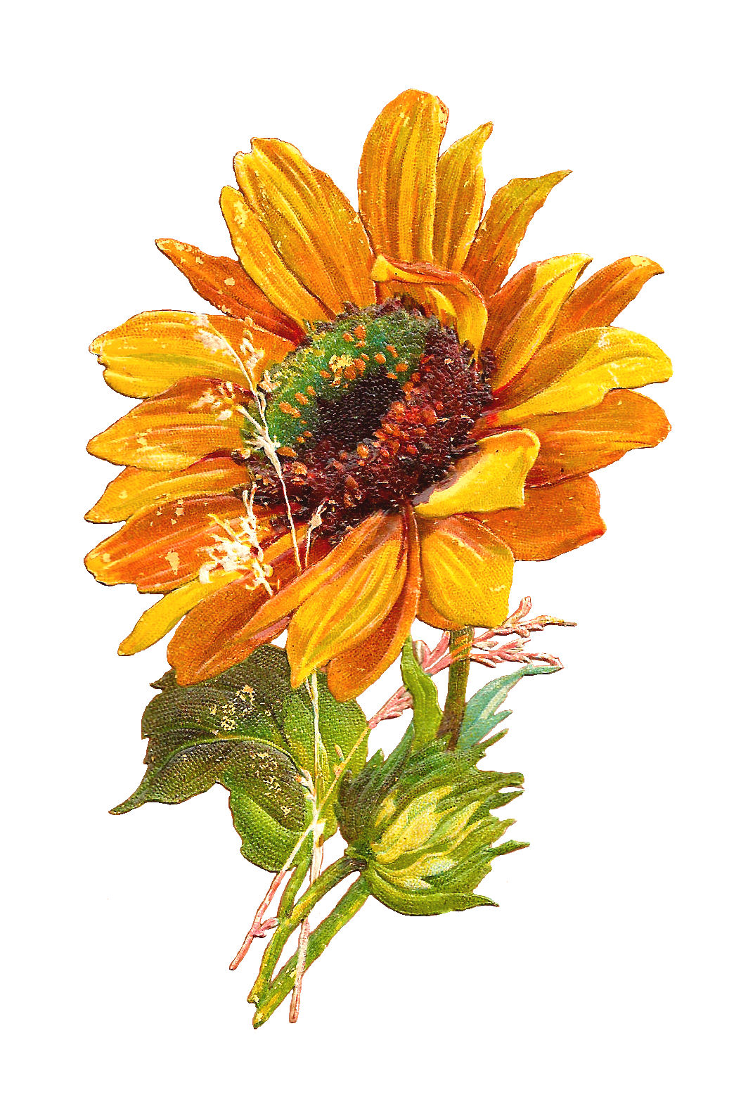 Sunflower  free antique images free flower graphic sunflower clip art of 2