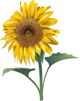 Sunflower  free clip art of sunflower kayak wallpaper