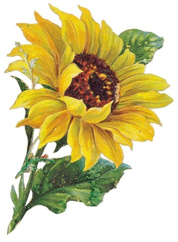 Sunflower  free free sunflower clipart flower clip art images and 3