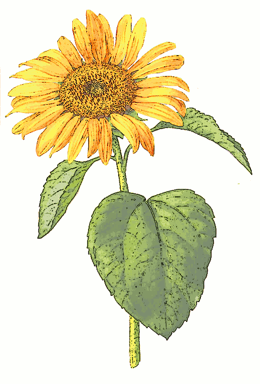 Sunflower  free free sunflower clipart flower clip art images and 5
