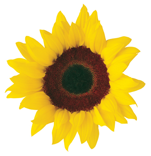 Sunflower  free sunflower clip art free printable clipart 2