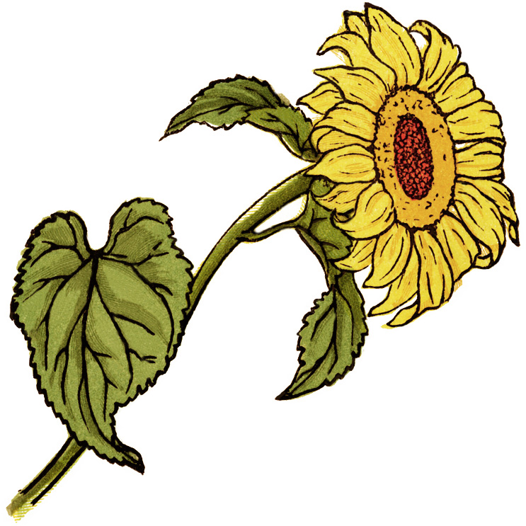 Sunflower  free sunflower clip art pictures free clipart images 3 clipartandscrap