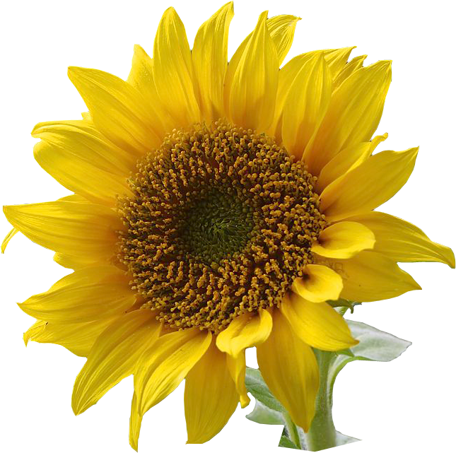 Sunflower  free sunflower clip art resolution graphics and clip art free