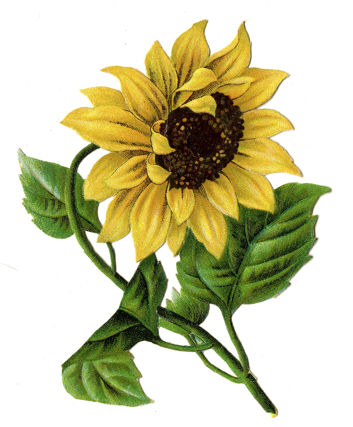 Sunflower  free sunflower graphics free download clip art on