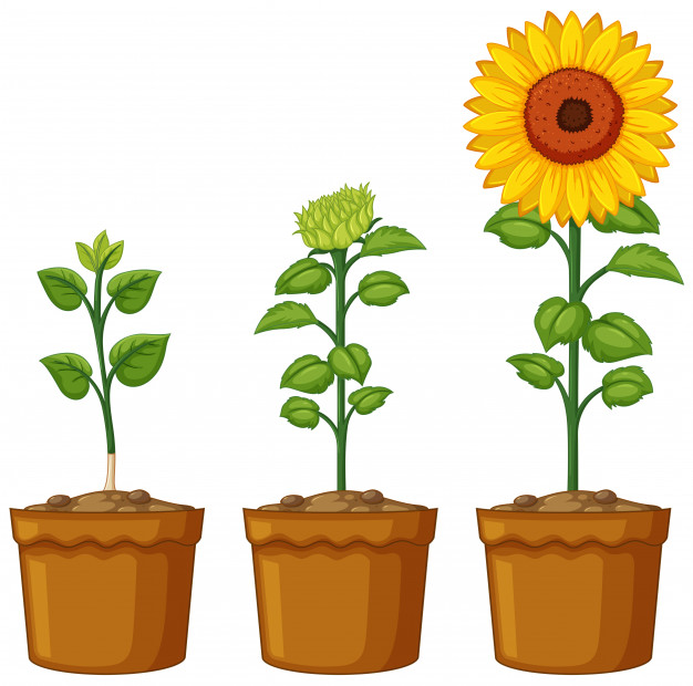 Sunflower  free sunflower vectors photos and psd files free download clip art